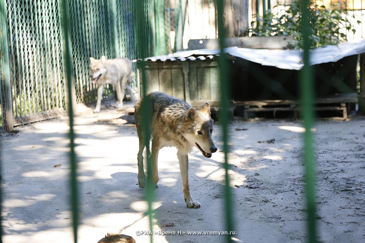 Стая волков гуляет вдоль железной дороги вУренском районе