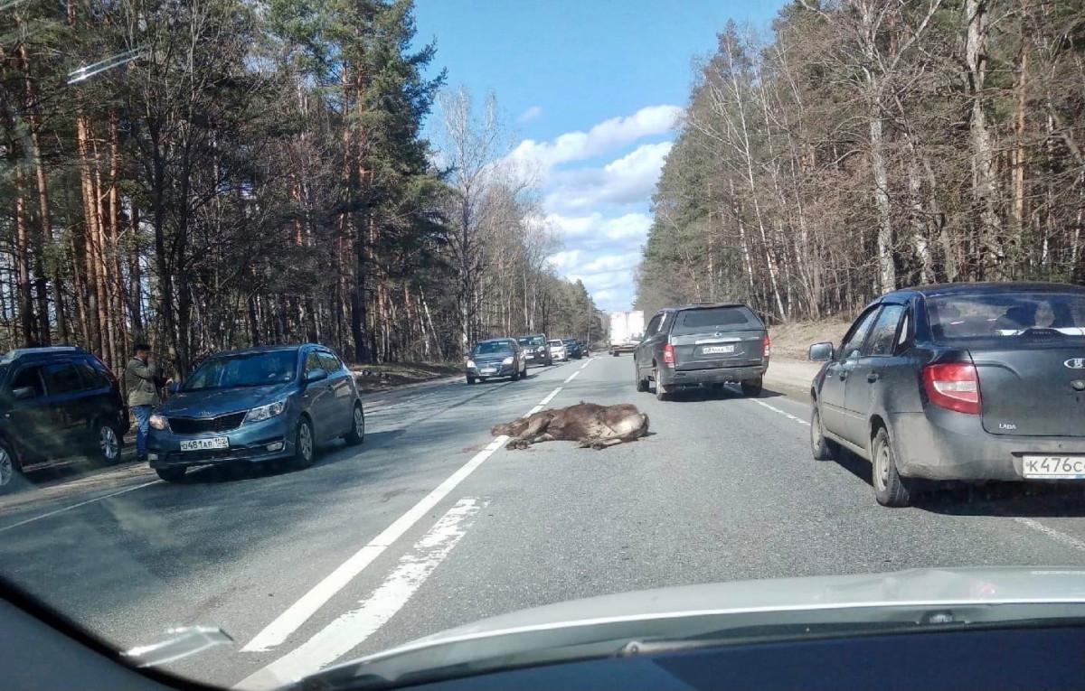 Лось погиб под колесами автомобиля вгородском округе Бор
