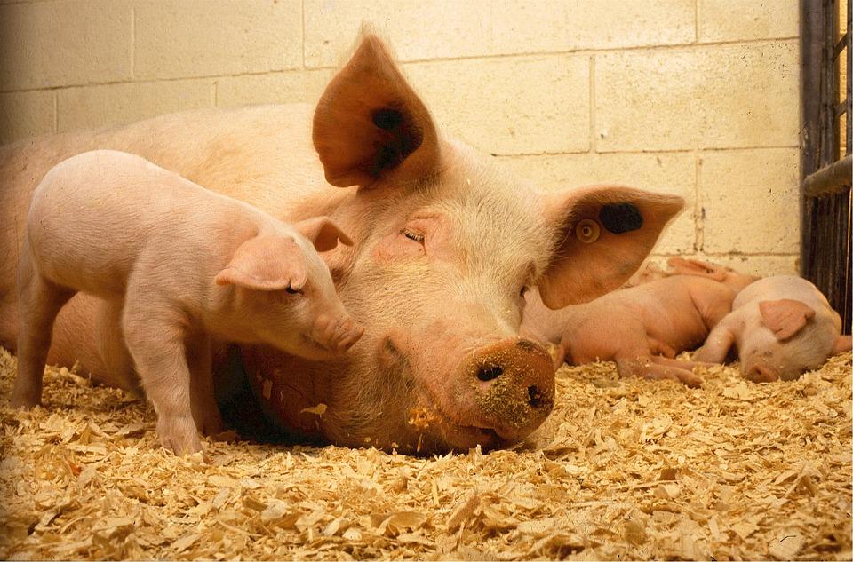 Карантин поАЧС нарушен рядом скрупным свинокомплексом вВадском районе