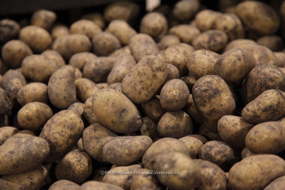 Стеблевая нематода обнаружена внижегородском картофеле