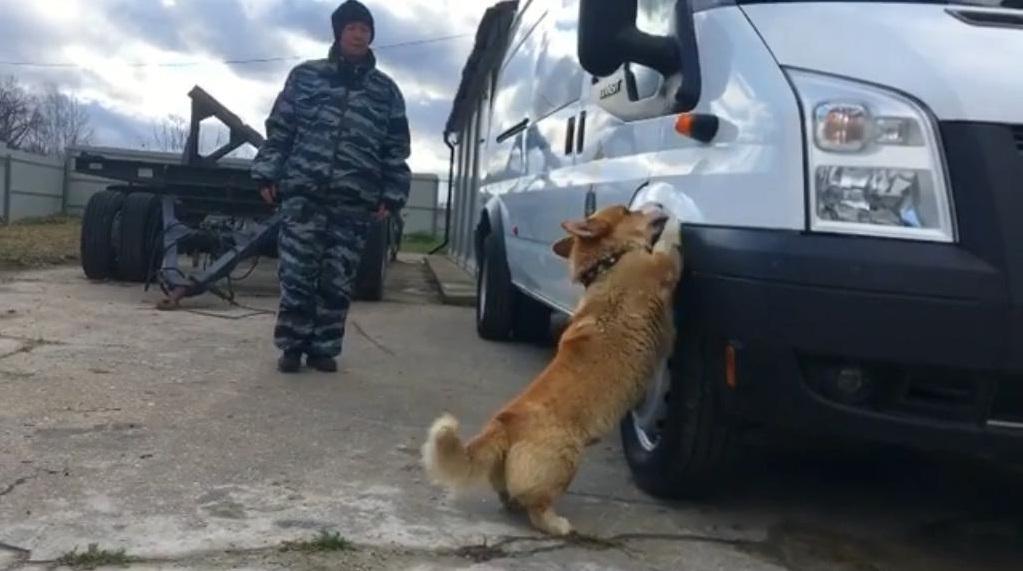 Нижегородский корги-полицейский решил вернуться наслужбу
